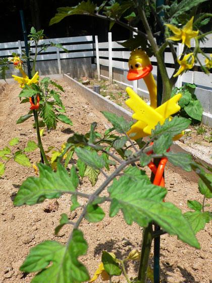 トマトの苗植え